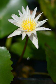 Flora, Nature, Flower, Leaf, Garden, Clean, Pure, Lotus