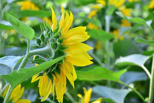 Nature, Plant, Summer, Flower, Leaf, Field, Sunflower