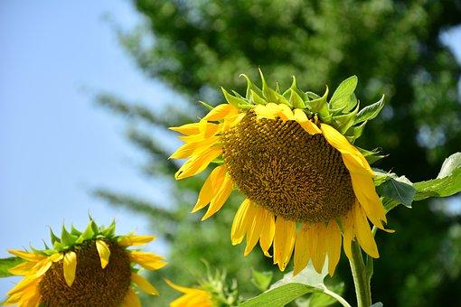 Nature, Plant, Flower, Summer, Field, Sunflower, Yellow
