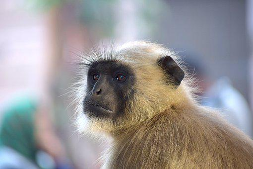 Monkey, Wildlife, Mammal, Primate, Animal, Langoor