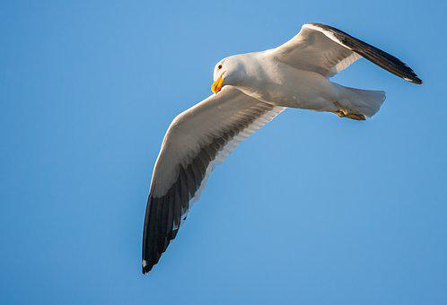 Kelp Gull, Eye, Looking, Cape Gull, Seabird, Seagull