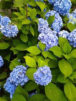 Nature, Flora, Flower, Garden, Leaf, Hydrangea, Summer