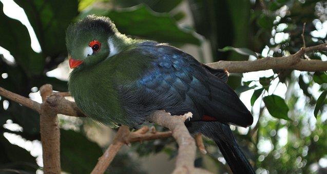Bird, Feather, Iridescent, White Cheek Turaco, Turaco