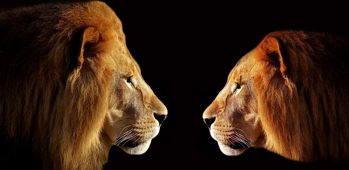 Lion, Two Lion, Male, Face-to-face, Combat, Young Lion