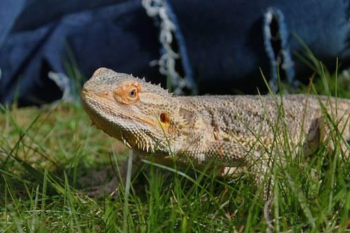 Bearded Dragon, Lizard, Cool, Awesome, Animal, Young
