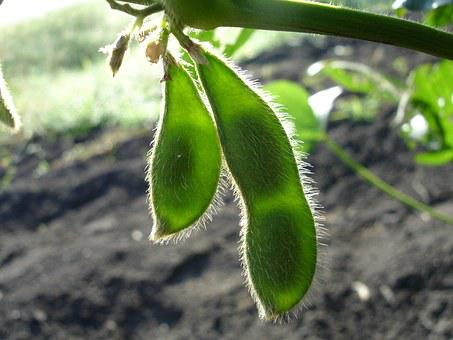 Soy, Soybean, Nature, Green, Glycine Max, Plants