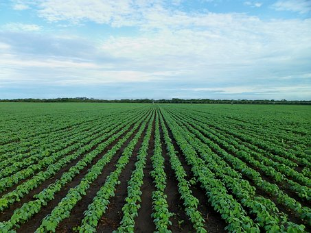 Soybean Field, Farming, Field, Agriculture, Growing