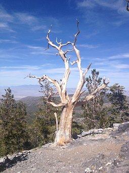 Bristlecone, Pine Tree, Dead Tree, Tree, Mountain