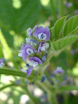 Soy, Flower, Purple, Flowers, Nature, Purple Flower