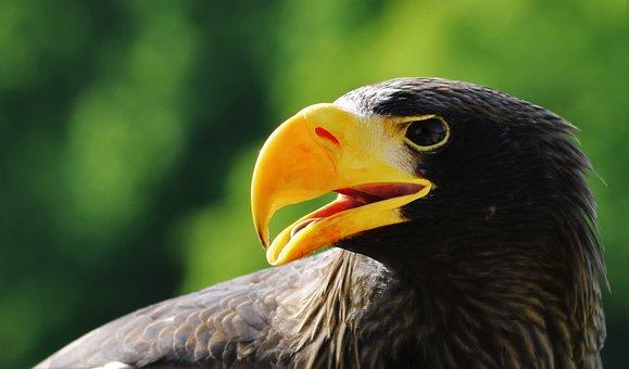 Stellar Sea Eagle, Eagle, Sea, Bird, Beak, Endangered