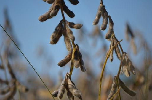 Soybean, Macro, Soy, Agriculture, Grain, Vegetable