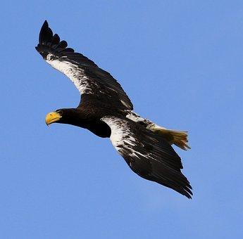 Stellar Sea Eagle, Sea Bird, Sea, Bird, Eagle, Beak