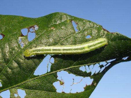 Plague, Larva, Velvet Worm, Worm, Soy, Glycine Max
