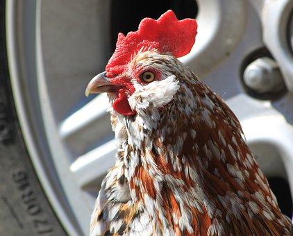 Rooster, Bantam, Black, Orange, White, Spots, Farm, Pet