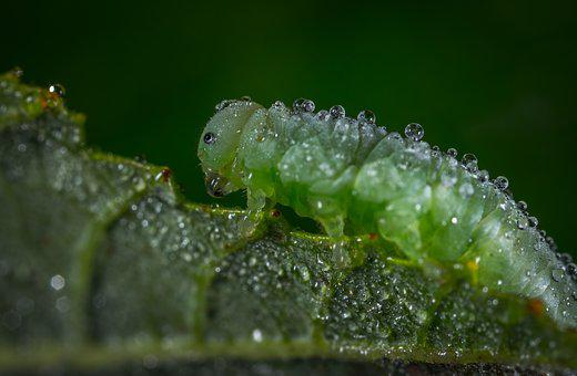 Insect, Larva, Bespozvonochnoe, Nature, Sawfly, Rosa