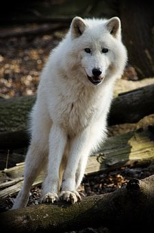 Mammal, Wolf, Nature, Dog, Animal World, Arctic Wolf