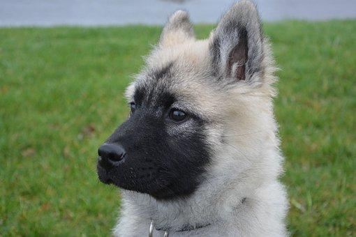 Dog, Muzzle With Black Mask, Expression Of Dog