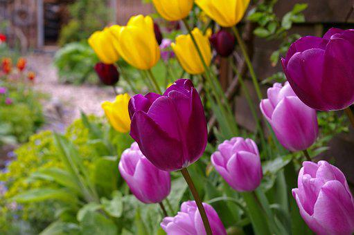 Nature, Flower, Plant, Garden, Tulip, Color, Bright