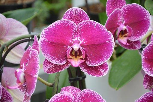 Flower, Orchid, Plant Fuchsia, Nature, Decorative Plant