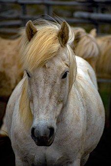 Animal, Iceland Horse, Horses