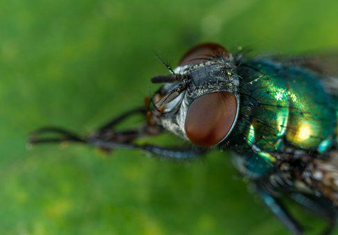 Insect, Animals, Living Nature, Fly, Nature, Macro