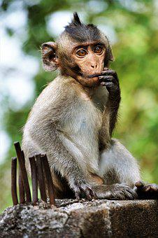 Young, Monkey, Primate, Ape, Wildlife, Macaque, Nature