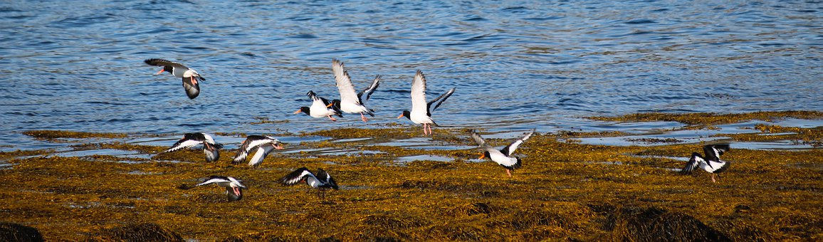 Water, Nature, Bird, Wildlife, Sea, Oystercatchers