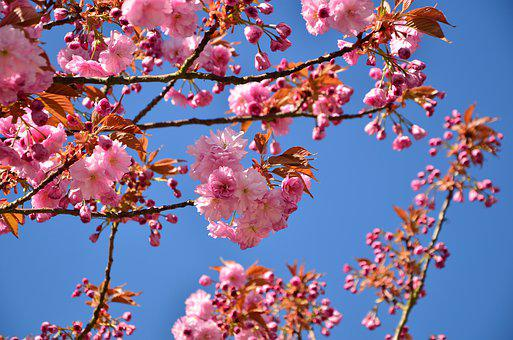 Japanese Flowering Cherry, Cherry Blossoms, Tree
