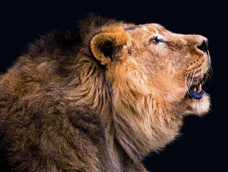Animal, Lion, Cat, Mane, Roar, Animal Portrait