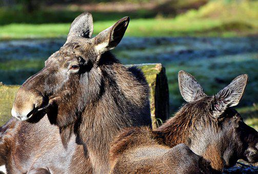 Moose, Elk Park, Sweden, Mammal, Animal Portrait