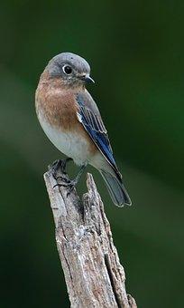 Bluebird, Eastern Bluebird, Avian, Bird, Wildlife
