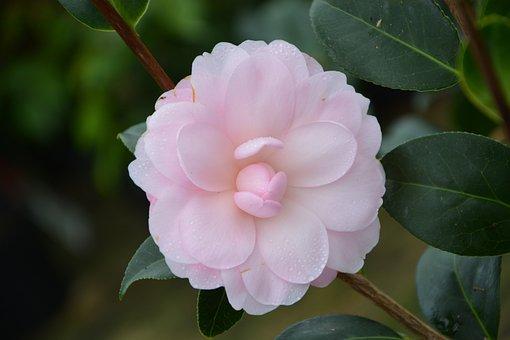 Flower, Flower Pale Pink, Camellia Pink, Plant, Leaf