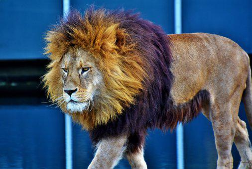 Lion, Cat, Predator, Big Cat, Lion's Mane, Mane, Wild