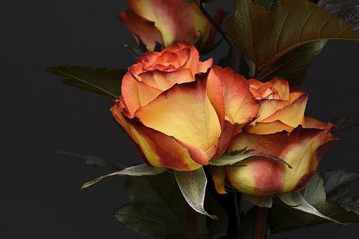 Rose, Flower, Petal, Floral, Love, Noble, Orange