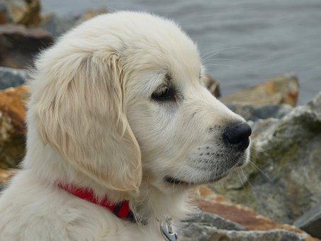 Dog, Pup, Golden Retriever, Portrait Profile Head, Pet