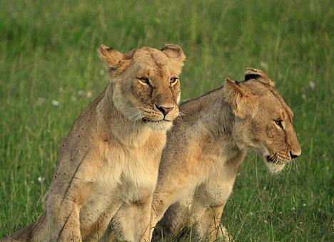 Lioness, Animal, Africa, Wilderness, Nature