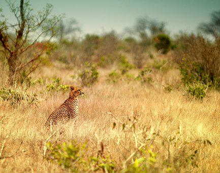 Animal World, Grass, Nature, Mammal, Animal, Leopard