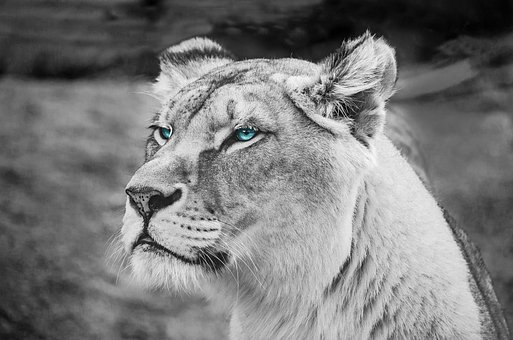 Portrait, Mammal, Tawny, Lion, Feline, Africa, Animal