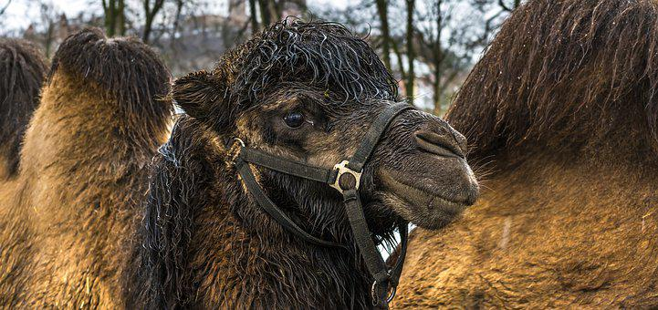 Camel, Animal, Nature, Mammal, Animal World, Portrait