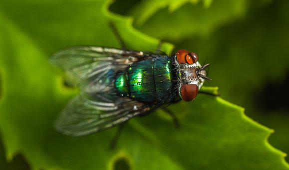 Nature, Insect, Animals, Fly, Sheet, Meat Fly, Macro
