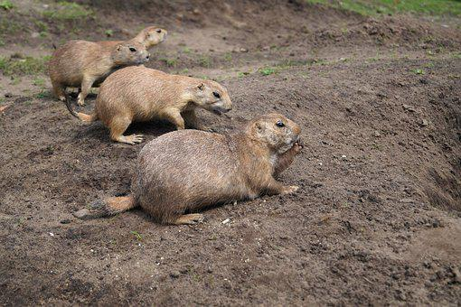 Prairie Dogs, Rodents, Animals, Zoo