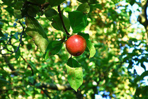 Apple, Apple Tree, Red Apple, Fruit, Fresh, Food
