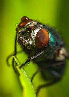 Insect, Fly, Bespozvonochnoe, Living Nature, Meat Fly