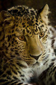 Cat, Animal World, Carnivores, Leopard, Predator