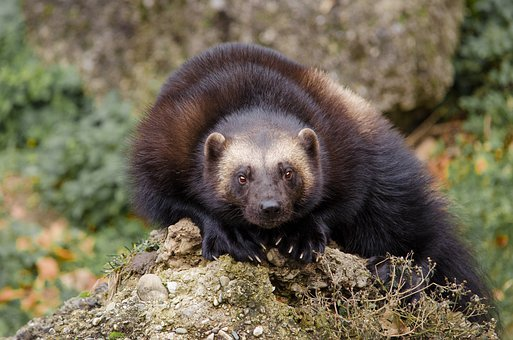 Animal World, Mammal, Nature, Animal, Cute, Wolverine