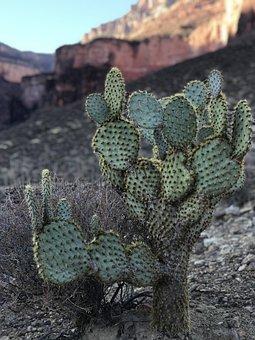 Cactus, Desert, Nature, Dry, Succulent, Grand Canyon