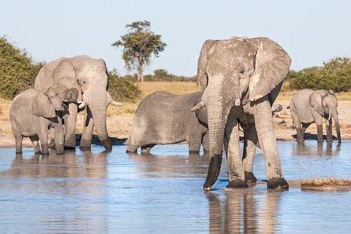African Elephants Drinking, Elephants, Matriarch