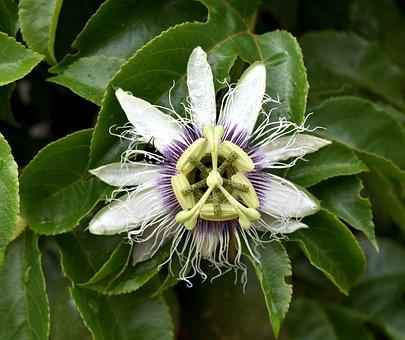 Nature, Flora, Leaf, Flower, Garden, Granadilla