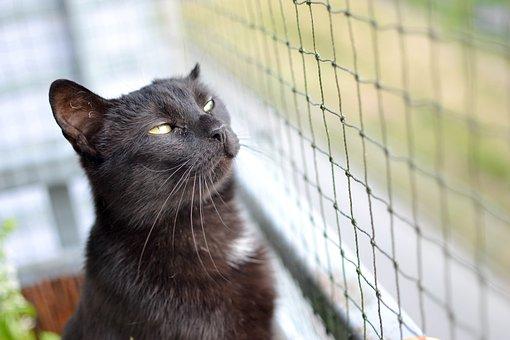 Cat, Black Cat, A Normal Cat, Golden Eyes, Cat Staring