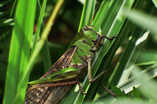 Japan, Natural, Insect, Grasshopper, 飛蝗